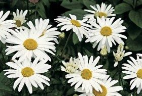 Top 10 White Flowers