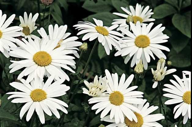 White Flowers Shasta Daisy RDA-GID