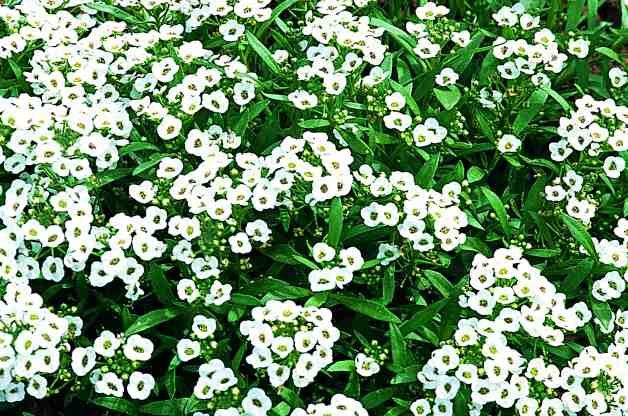 White Flowers Sweet Alyssum RDA-GID