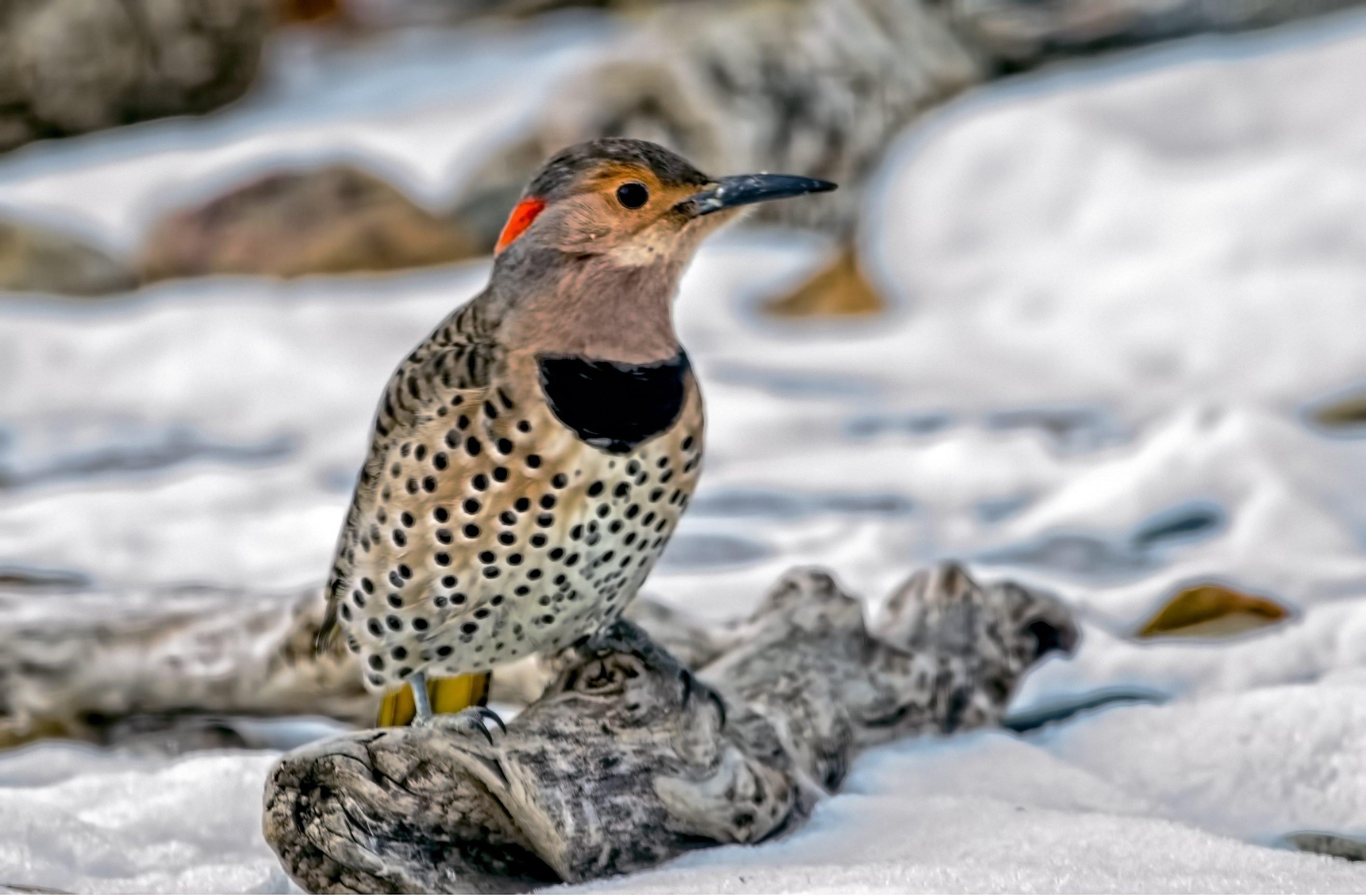 Northern Flicker Birds And Blooms