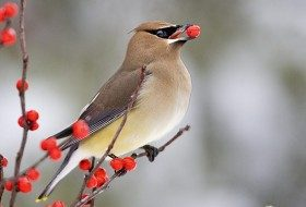 Top 10 Plants That Attract Waxwing Birds