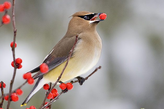 how to Attract waxwings, what do cedar waxwings eat