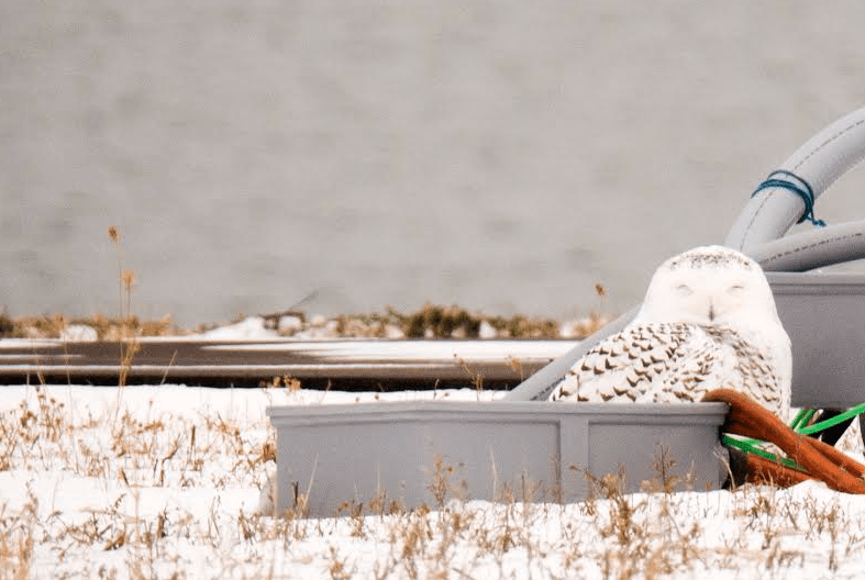 Snowy owl along Milwaukee's lakefront, spotted with the new Maven binoculars. Photo courtesy of Shari Kastner from New Berlin, Wisconsin