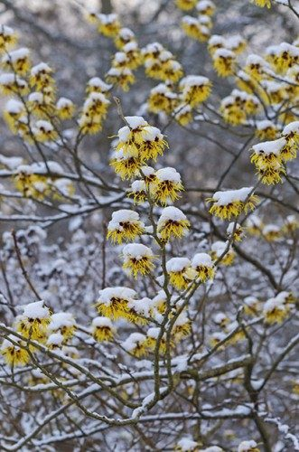 Winter Gardening: Chinese witch hazel