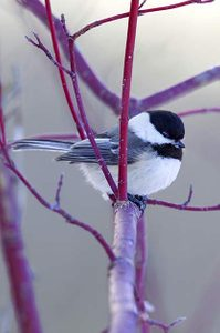 Winter Gardening: Black-capped chickadee in redtwig dogwood