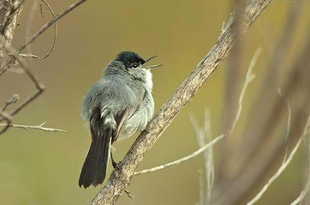 One species that I always like to see when I'm in San Diego is the California Gnatcatcher. I photographed this one at the San Elijo Lagoon.