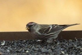 Common Redpolls tend to be found on finch feeders but they will also eat sunflower seeds.