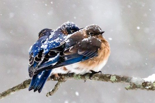 Eastern Bluebirds In The Snow Birds And Blooms