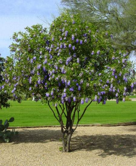 Texas mountain laurel (Sophora secundiflora)
