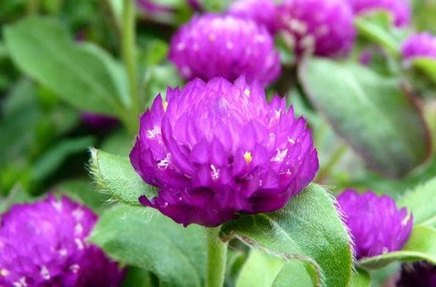 Gomphrena in the Flower Garden