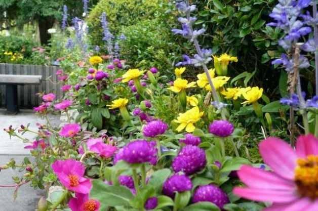 Gomphrena in the Flower Garden Mix
