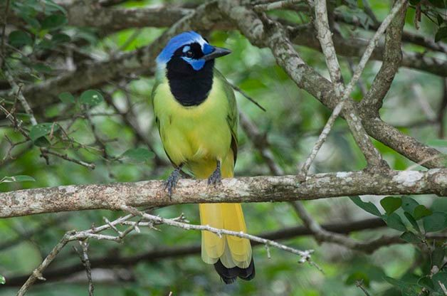 Green Jays are one of the most sought after species for birders making their first trip to the Rio Grande Valley.