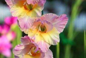 Growing Gladiolus Kathy