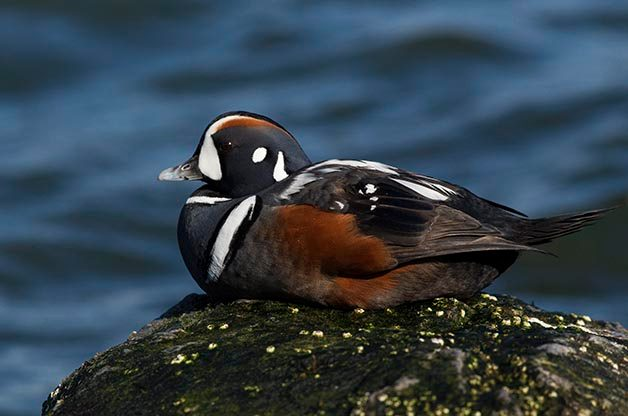 Barnegat Light, New Jersey is the best place I've ever been for photographing Harlequin Ducks!