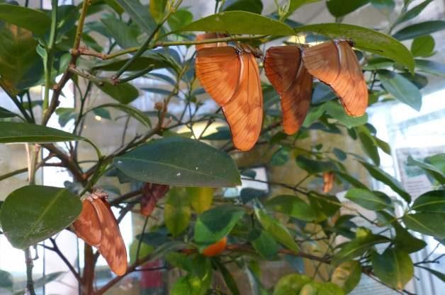 Julia Longwings Roosting Butterfly Garden