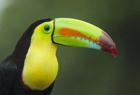 This is one of my favorite photographs that I have ever taken. The color of the bill of the Keel-billed Toucan is really incredible!