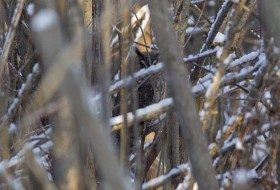 The second Long-eared Owl we found was closer but still very hidden.
