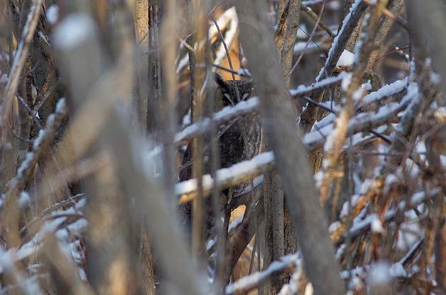 The second Long-eared Owl we found was closer but still very hidden.