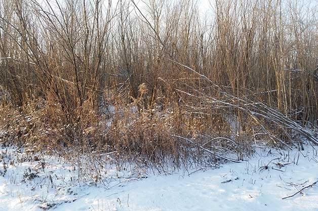 Can you imagine trying to find a Long-eared Owl in this tangled stand of willows?