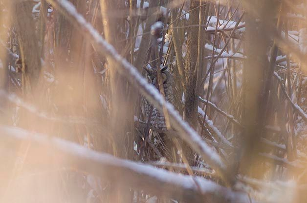 This was the first Long-eared Owl that we found. It was very hidden and I had to use manual focus to get this shot.