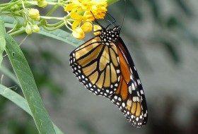 Monarch Migration Update