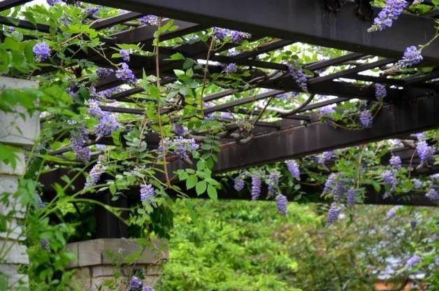 Olbrich Botanical Garden Wisteria