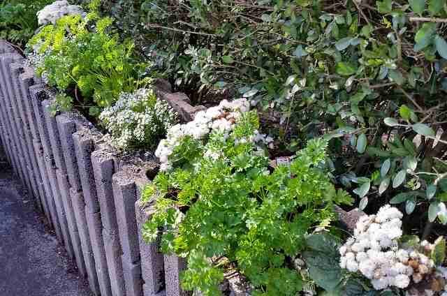 Parsley with Alyssum and Ageratum