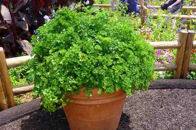 Parsley Planter