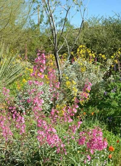 Pink flowering parry's penstemon (Penstemon parryi).
