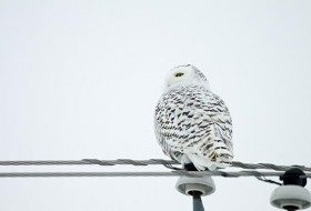 Another Snowy Owl Winter