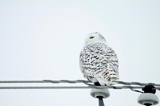 Snowy Owls are commonly found around the Duluth area.