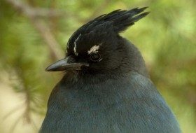 In the western US, Steller's Jays are big fans of peanuts in the shell.