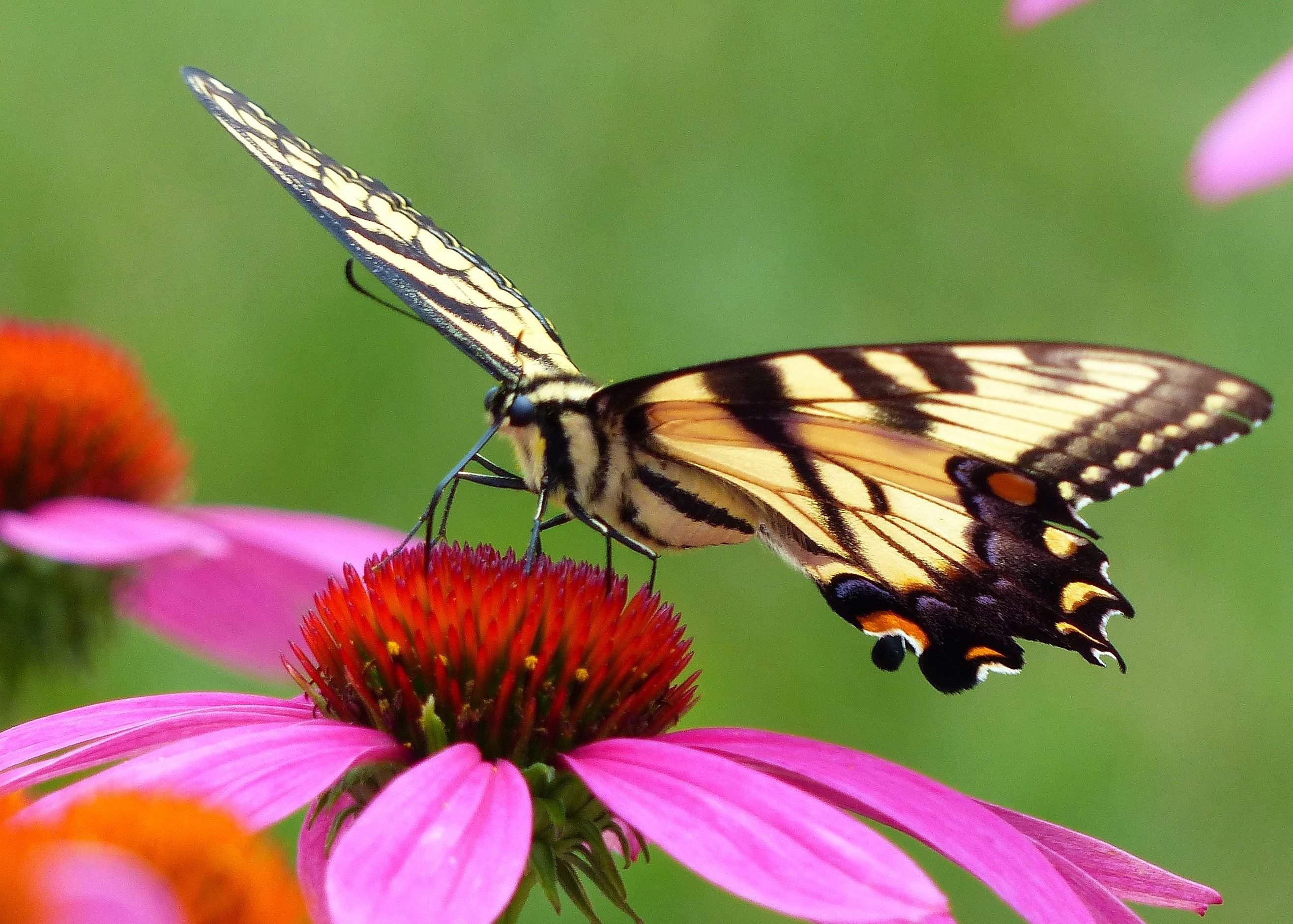 Tiger Swallowtail On Purple Coneflower Birds And Blooms