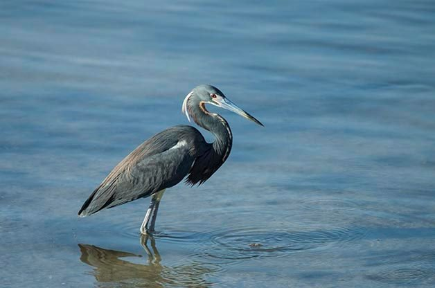 One of the many herons that you can find in south Florida is the Tricolored Heron.