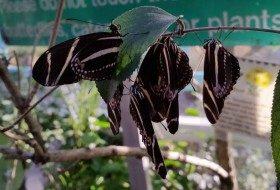 Zebra Longwings Roosting Butterfly Garden