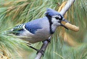 The blue jay has an expandable throat pouch where it can temporarily store acorns or a peanut.