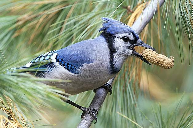 Do Birds Eat Nuts? Yes - Learn How to Feed Them