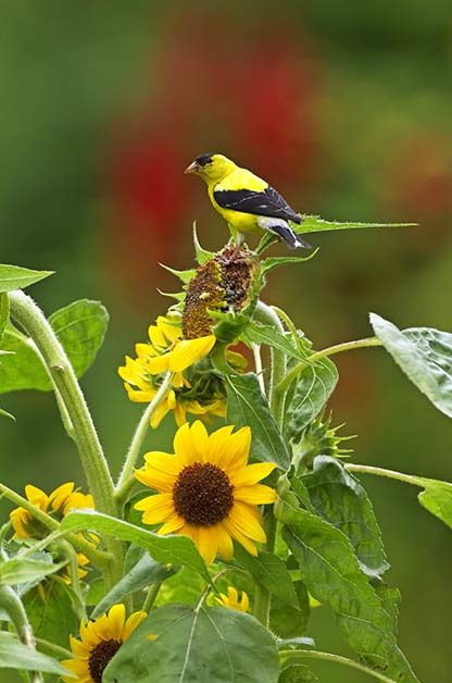 How to Attract Goldfinches With Your Garden