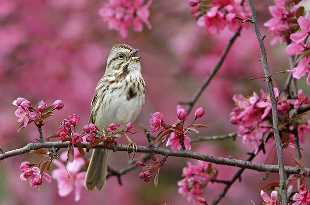 Top Songbirds In America