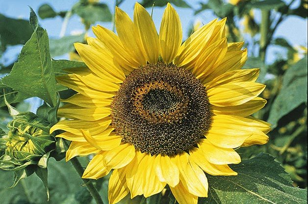Top 10 Sunny Sunflower Varieties : Lemon Queen