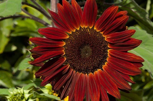Top 10 Sunny Sunflower Varieties: Moulin Rouge