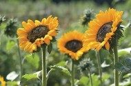 Top 10 Sunny Sunflower Varieties