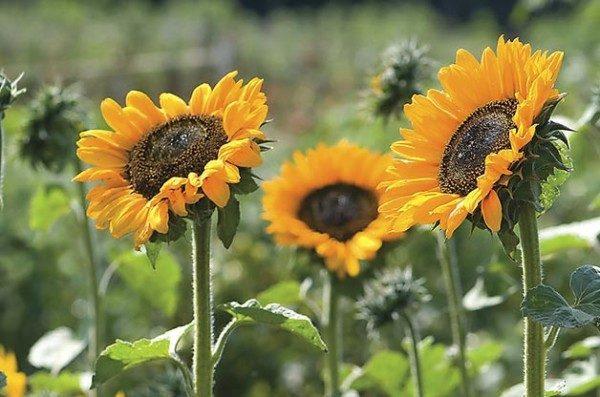 Top 10 Sunny Sunflower Varieties: Soraya