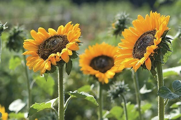 Top 10 Sunny Sunflower Varieties: Soraya