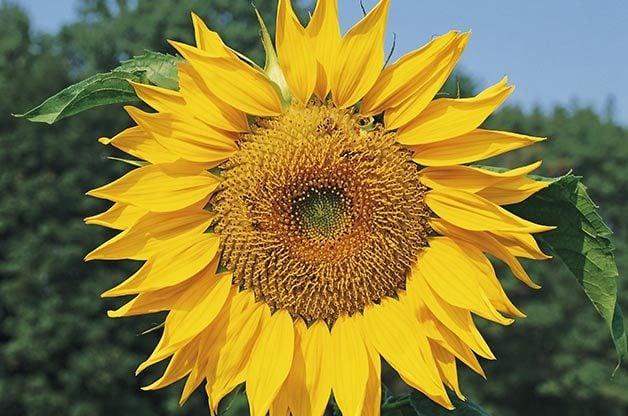 Top 10 Sunny Sunflower Varieties: Mammoth Russian