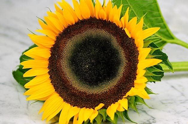 Top 10 Sunny Sunflower Varieties:Taiyo Sunflower