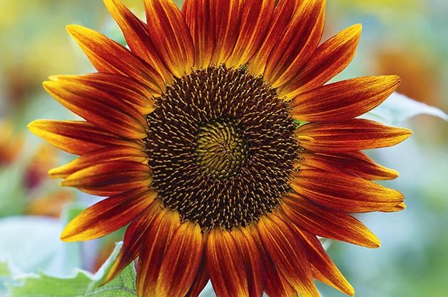 Top 10 Sunny Sunflower Varieties Flower Garden Birds