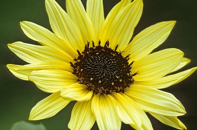 Top 10 Sunny Sunflower Varieties: Italian White