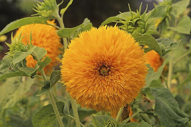 Top 10 Sunny Sunflower Varieties: Giant Sungold