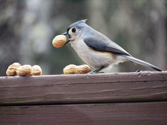 tufted titmouse eating peanuts